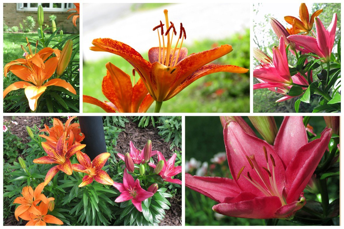 Asiatic lilies original